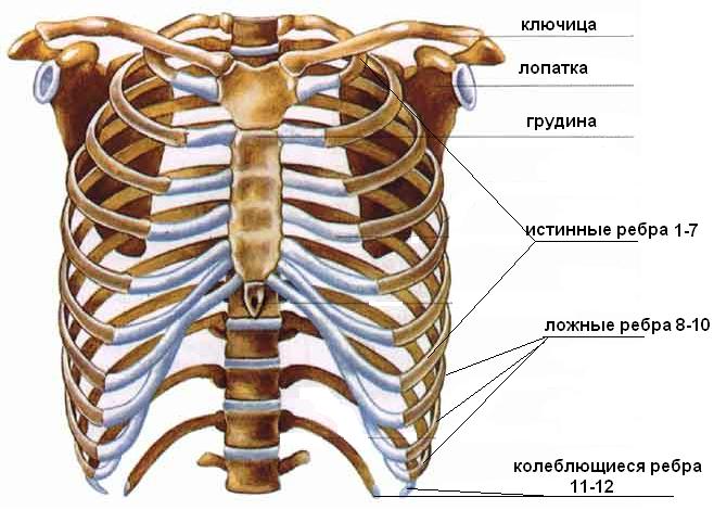 Картинка внутренних органов человека спереди