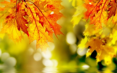 Кленовые листья для лечения суставов Как вылечить артроз