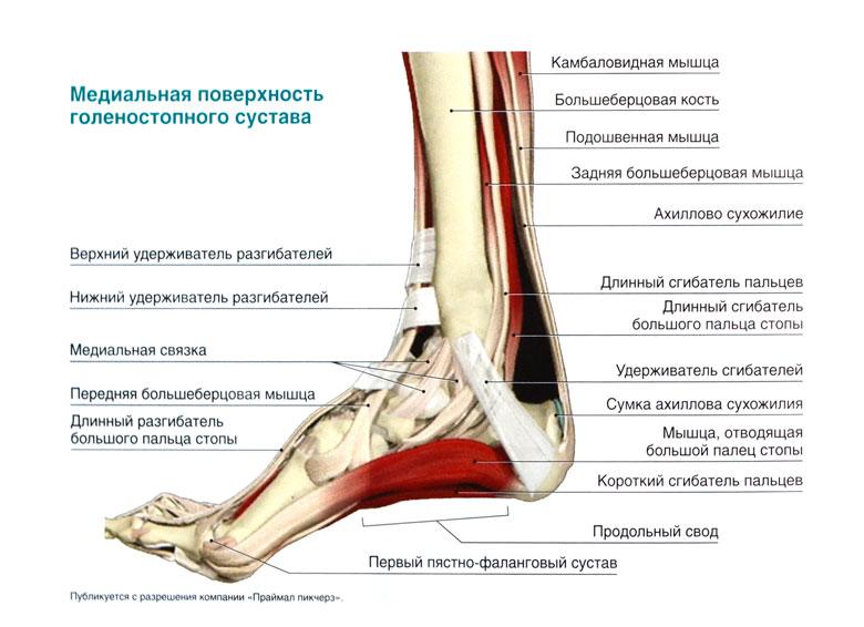 Мышцы приводящие в движение голеностопный сустав быстрый яндекс браузерлечение суставов