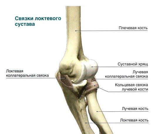Устройство локтевого сустава человека сибирское здоровье живая клетка для суставов