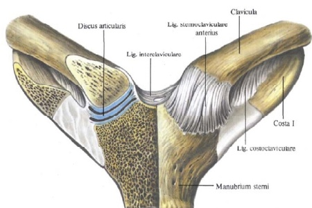 Анатомия грудино-ключичного сустава