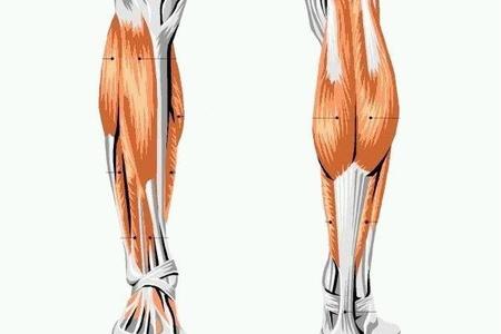 строение ног