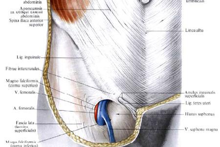 строение мышц и связок живота