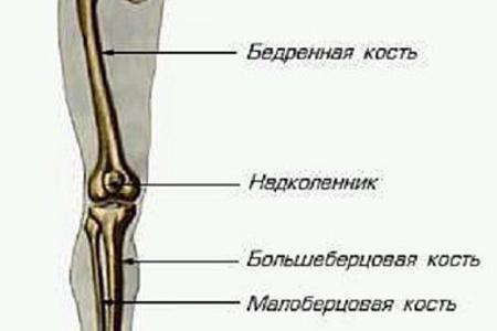 скелет ноги