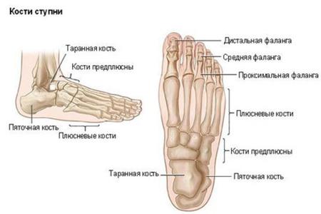 строение стопы