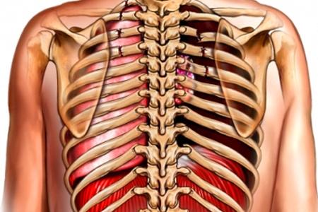 строение позвоночника и ребр