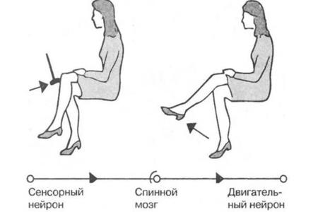 Путь рефлекса