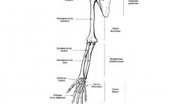 Анатомия суставов верхней конечности