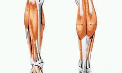 Анатомия связок стопы, коленного и голеностопного суставов