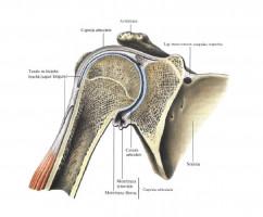 Строение плечевого сустава человека