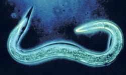 Японские ученые научились выявлять рак при помощи червей и мочи