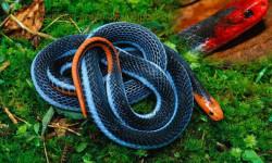 Ученые создадут новое обезболивающее из яда смертельной азиатской змеи