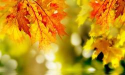Настойка из кленовых листьев от боли в суставах