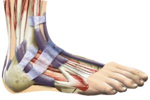 Строение голеностопного сустава и стопы