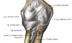 Особенности строения локтевого сустава
