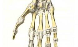 Анатомия лучезапястного сустава человека. Травмы сустава