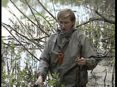 Лекарственные травы.Сабельник болотный