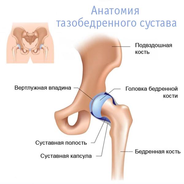 Устройство тазобедренного сустава человека