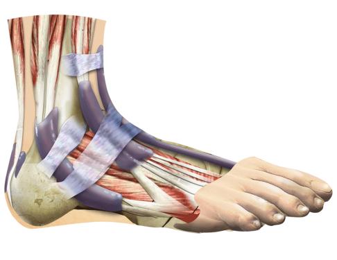 Связки голеностопного сустава: анатомия. Строение голеностопного сустава