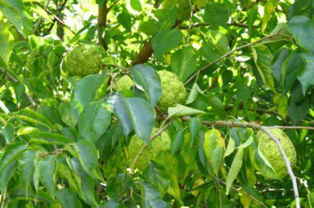 Листья маклюры