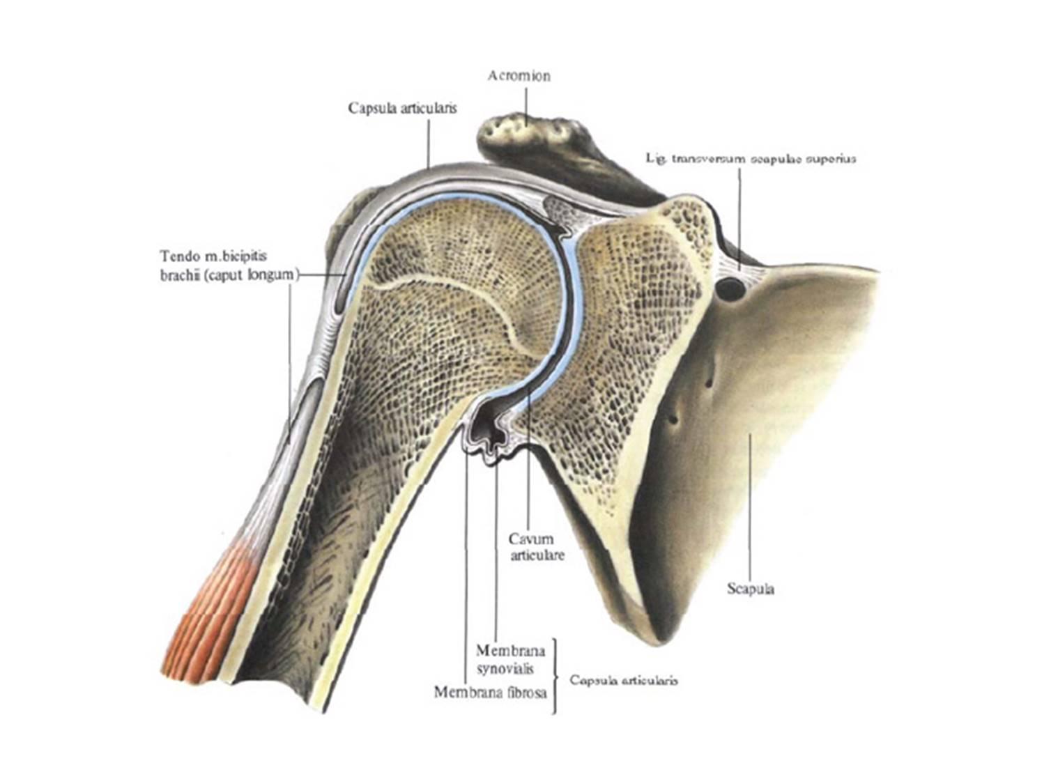 Плечелопаточный сустав человека